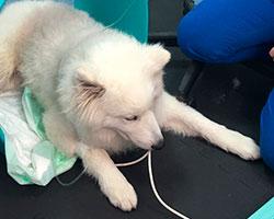 Magnetoterapia veterinaria caso clinico