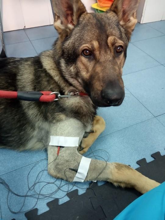 Magnetoterapia veterinaria